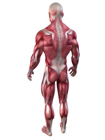 homo sapiens: bodybuilder pose