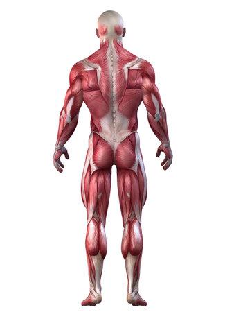 musculo: culturista plantean