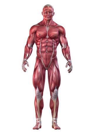 muscle anatomy: bodybuilder pose