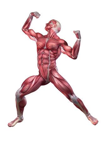 anatomic: bodybuilder pose