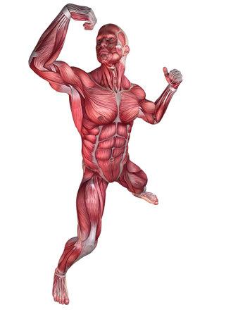 anatomy muscles: bodybuilder pose