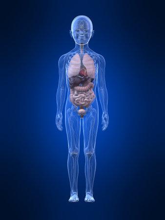 anatomy x ray: young boy anatomy - organs