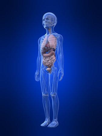 young boy anatomy - organs  photo