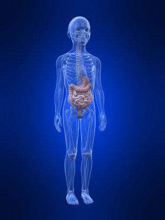 young boy anatomy - organs Stock Photo - 11062760