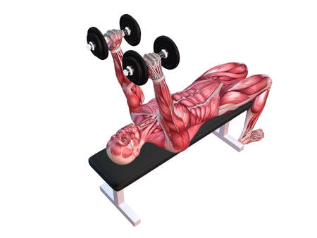 3d muscle model - triceps workout  Stock Photo - 11062763