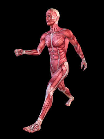 anatomically: 3d muscle model - male