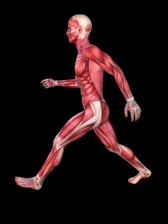 3d muscle model - male photo