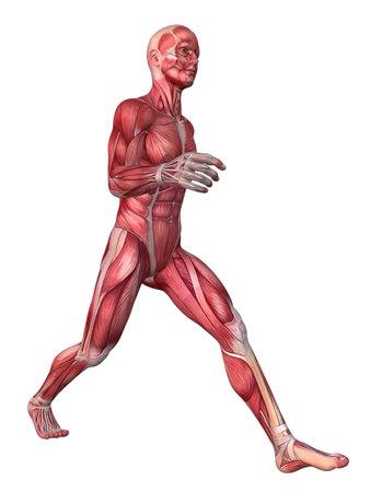 anatomic: 3d muscle model - male