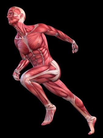 musculature: 3d muscle model - male