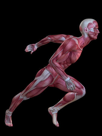 ligament: 3d muscle model - male