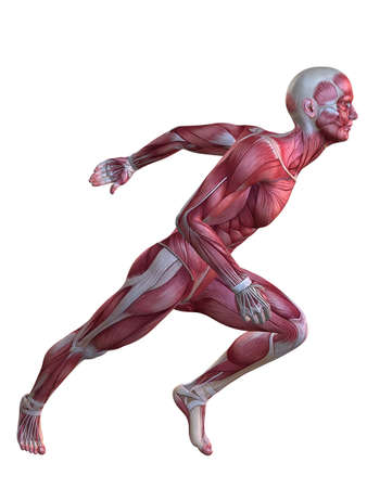 sport body: 3d muscle model - male