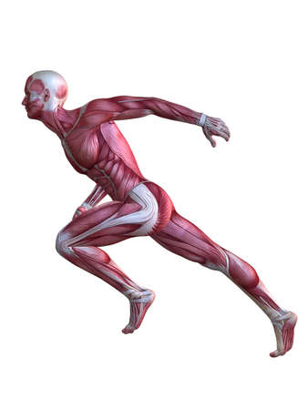 anatomy body: 3d muscle model - male