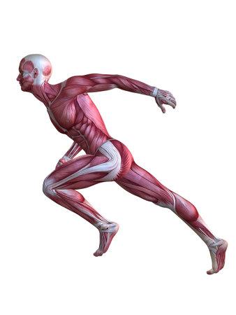 musculo: Modelo 3D del m�sculo - macho