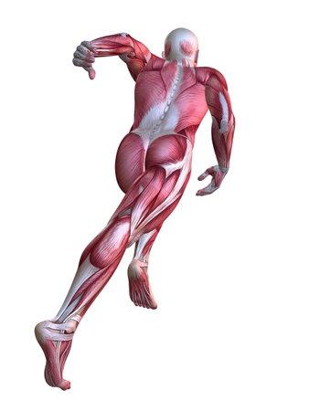 muscular anatomy: 3d muscle model - male