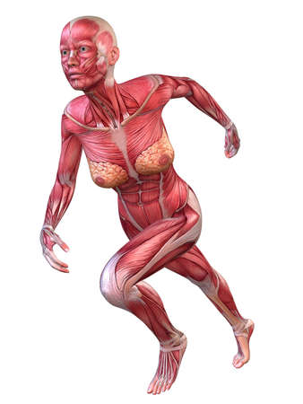 3d muscle model - female photo
