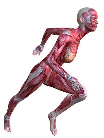 3d muscle model - female