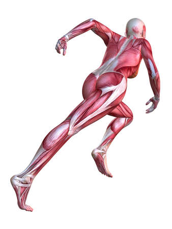 anatomically: 3d muscle model - female