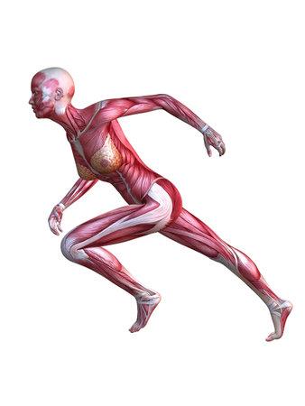 muscle guy: 3d muscle model - female