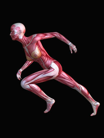 3d muscle model - female photo