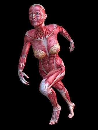 3 차원 근육 모델 - 여성 스톡 콘텐츠