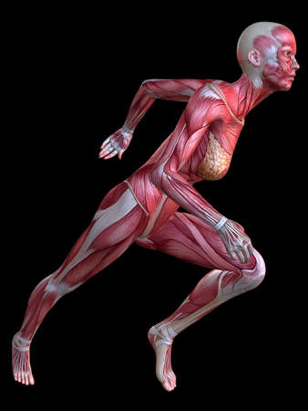3d muscle model - female Stock Photo - 11062846