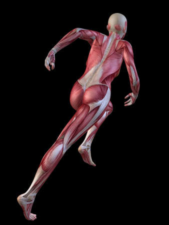 female muscle: 3d muscle model - female