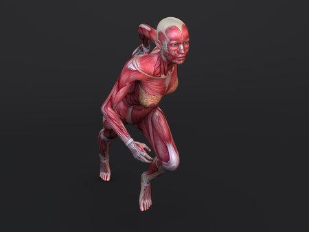 sinew: 3d muscle model