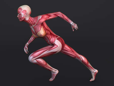 3d muscle model  Stock Photo - 11062848