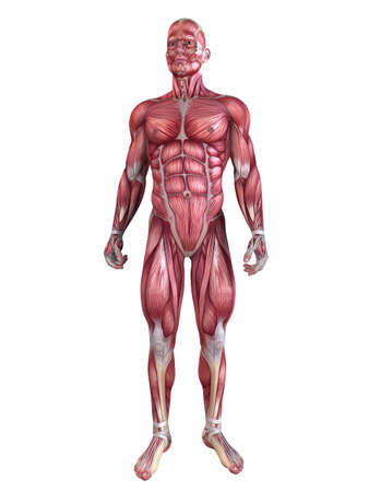 anatomic: male muscular system