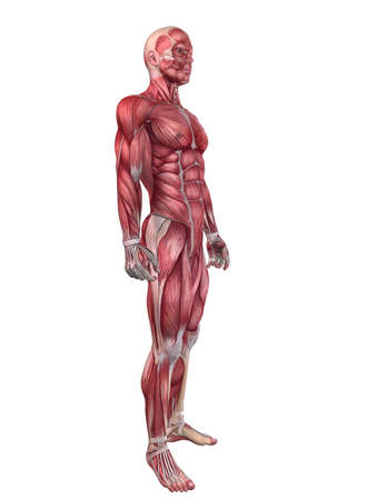 muscular anatomy: male muscular system