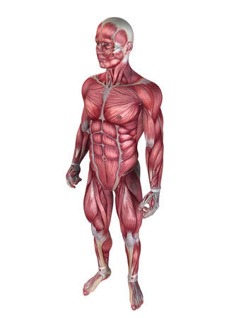 male muscular system  Stock Photo - 11022479