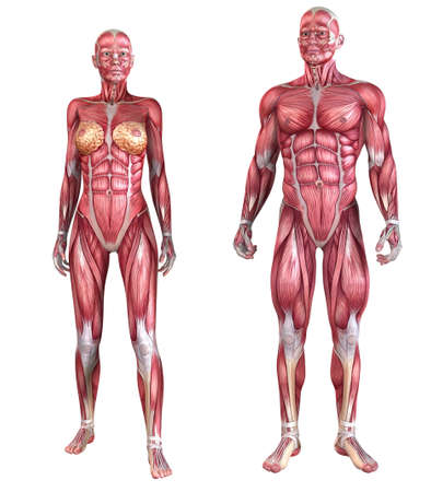 female anatomy: human muscle system  Stock Photo