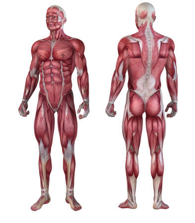 human body anatomy: male muscular system