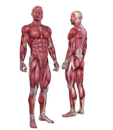 hombres musculosos: sistema muscular masculina