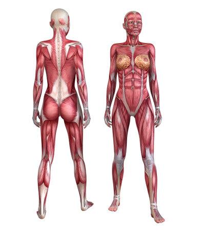 ścięgno: Ludzki ukÅ'ad mięśni