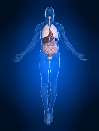 anatomy x ray: uprising human body with organs