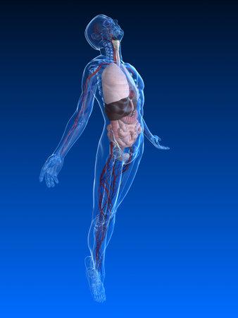 levantamiento de cuerpo humano con órganos