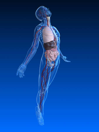 transparent male anatomy: uprising human body with organs