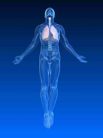 transparent male anatomy: uprising human body  with lung