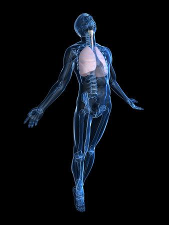 esqueleto humano: levantamiento del cuerpo humano Foto de archivo