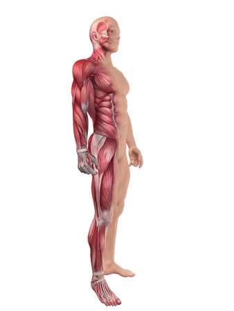 male muscular system  Stock Photo - 11022345