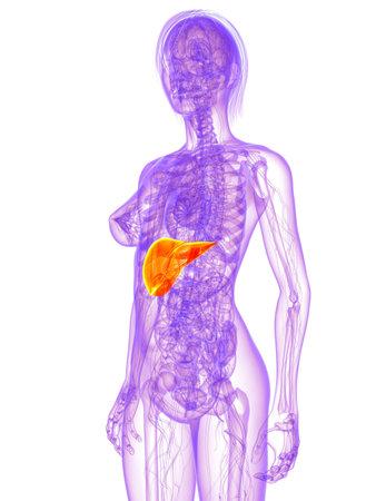 organos internos: anatomía femenina - hígado