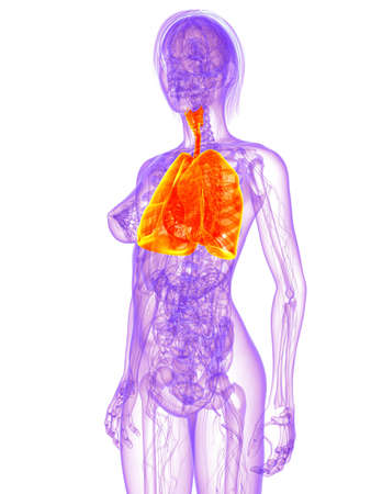 female anatomy - lung Stock Photo - 11022522