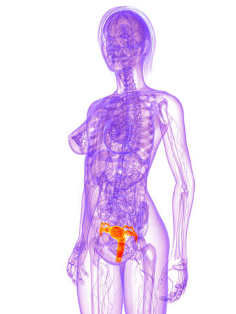 female anatomy - uterus Stock Photo - 11022534
