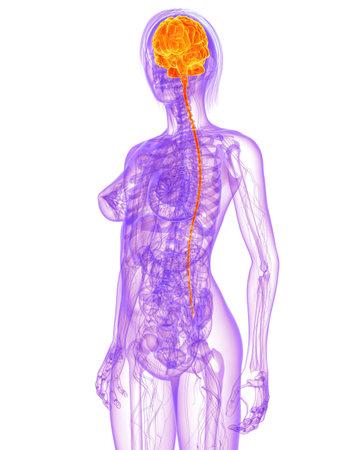 torax: female anatomy - brain  Stock Photo