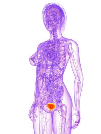 female anatomy - bladder  Stock Photo