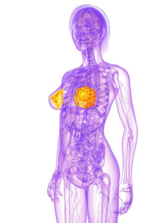 colon cancer: female anatomy - mammary glands