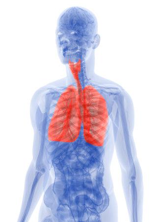 highlighted: pulm�n resaltada