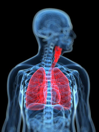 skeleton x ray: 3d rendered, medical illustration of the human respiratory system
