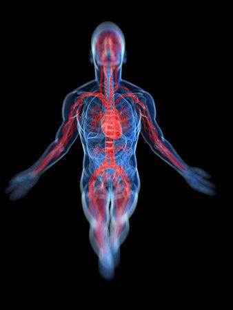transparent male anatomy: 3d rendered, medical illustration of the human vascular system